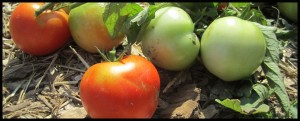 Tomatoes at the Farm